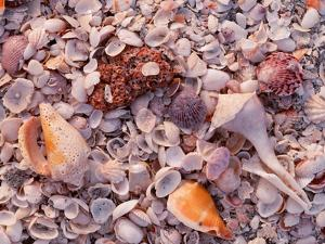 Florida, Sanibel Island, Gulf of Mexico, Sea Shell on the Beach