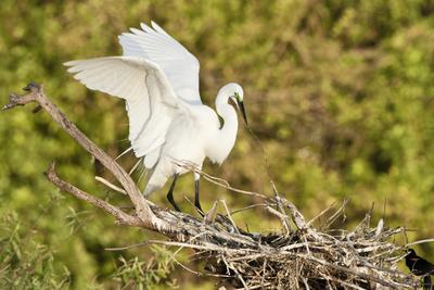 https://imgc.allpostersimages.com/img/posters/florida-venice-audubon-sanctuary-common-egret-wings-open-at-nest_u-L-PXRWDK0.jpg?p=0