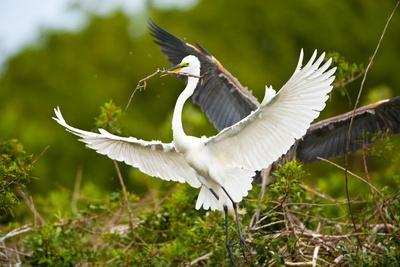 https://imgc.allpostersimages.com/img/posters/florida-venice-audubon-sanctuary-common-egret-with-nesting-material_u-L-PXRUX80.jpg?p=0