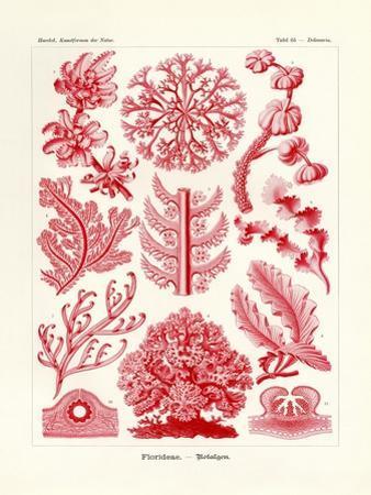 Florideae or Rhodophyceae, 1899-1904