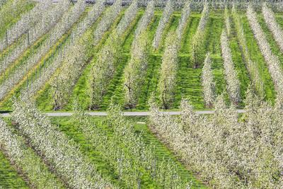 https://imgc.allpostersimages.com/img/posters/flowering-apple-orchards-villa-of-tirano-province-of-sondrio-valtellina-lombardy-italy-europe_u-L-Q12SAIY0.jpg?p=0