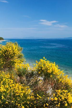 Flowering Broom at Coastal Landscape, Makarska Riviera, Dalmatia, Croatia