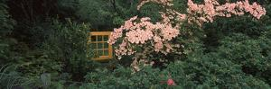 Flowering Dogwood with a Garden Gate, Anacortes, Fidalgo Island, Skagit County, Washington State...