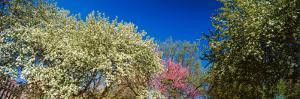 Flowering Trees in Bloom, St. Louis, Missouri, USA