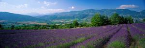 Flowers in Field, Lavender Field, La Drome Provence, France