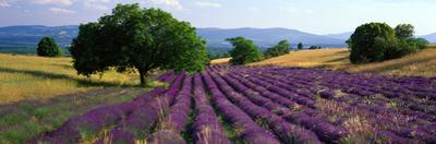 Flowers in Field, Lavender Field, La Drome Provence, France