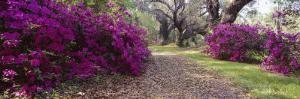Flowers in Magnolia Plantation and Gardens, Charleston, South Carolina, USA
