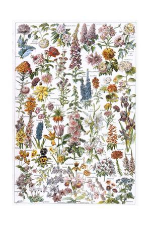 Flowers, Larousse 1913 by A Millot