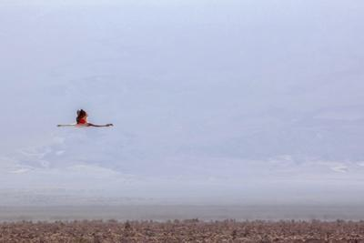 https://imgc.allpostersimages.com/img/posters/flying-pink-flamingo-in-the-salar-de-atacama-chile-and-bolivia_u-L-Q10VFKW0.jpg?p=0