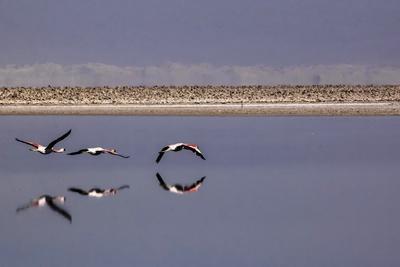 https://imgc.allpostersimages.com/img/posters/flying-pink-flamingos-in-the-salar-de-atacama-chile-and-bolivia_u-L-Q10VF920.jpg?p=0