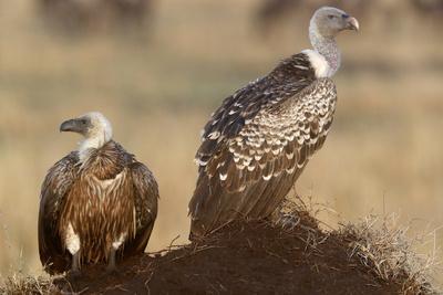 https://imgc.allpostersimages.com/img/posters/flying-white-backed-vulture-gyps-africanus-masai-mara-game-reserve-kenya_u-L-Q1GYIJ70.jpg?artPerspective=n