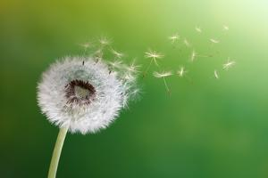 Dandelion Seeds In The Morning Sunlight Blowing Away Across A Fresh Green Background by Flynt