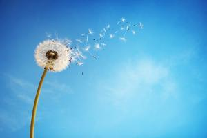Dandelion with Seeds Blowing Away in the Wind across a Clear Blue Sky with Copy Space by Flynt