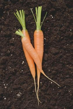 Three Carrots on Soil by Foodcollection