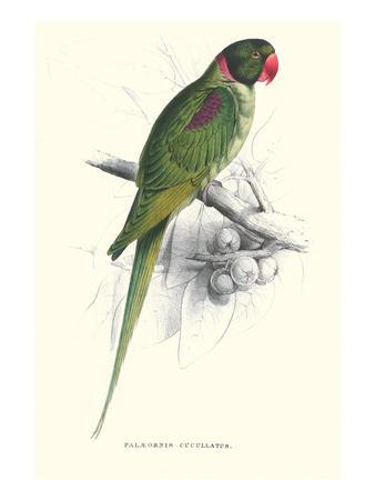 https://imgc.allpostersimages.com/img/posters/footed-parakeet-psittacula-eupatria_u-L-PGG4A20.jpg?p=0