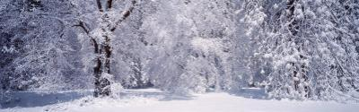 Forest in Winter, Yosemite National Park, California, USA
