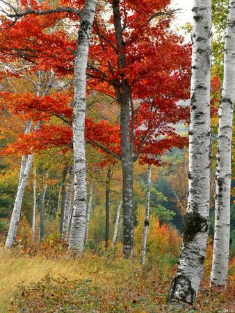 https://imgc.allpostersimages.com/img/posters/forest-of-birch-and-maples-in-autumn-colors-wyman-lake-maine-usa_u-L-PN70QP0.jpg?p=0