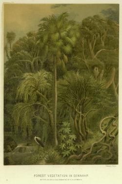 Forest Vegetation in Sennaar