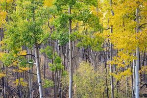 Aspen Grove in Santa Fe National Forest in Autumn by forestpath