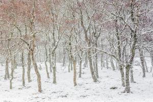 Uk, Scotland, Highlands, Braemar, Forest in Snow by Fortunato Gatto
