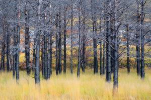 United Kingdom, Uk , Scotland, Highlands , Pine Trees Shape a Surreal Landscape by Fortunato Gatto