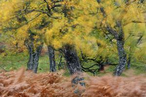 United Kingdom, Uk , Scotland, Highlands , Wind Blows Through the Fern and the Autumn Foliage by Fortunato Gatto