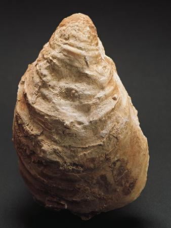 https://imgc.allpostersimages.com/img/posters/fossils-oyster-from-mount-loffa-veneto-region-italy_u-L-POPHOL0.jpg?p=0