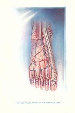 Circulation and Nerves of Dorsum of Foot by Found Image Press