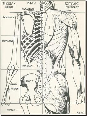 Drawing Of Bones And Muscles Of The Torso by Found Image Press