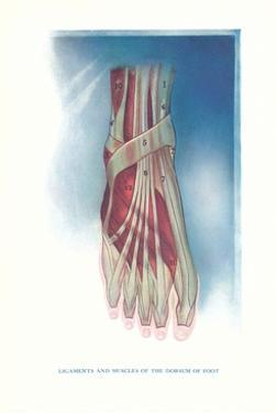 Ligaments and Muscles of Dorsum of Foot by Found Image Press