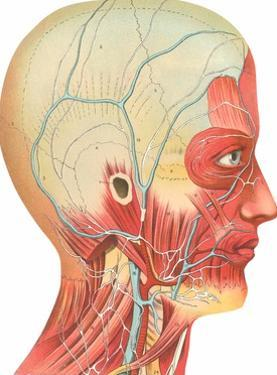 Muscles, Circulation, Nerves of the Head and Neck by Found Image Press