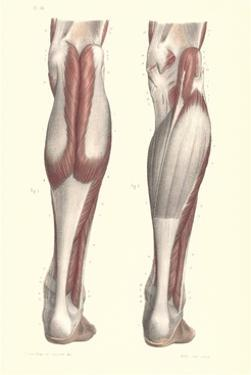 Musculature of the Lower Leg by Found Image Press