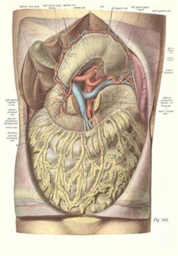 Organs, Veins, Arteries of the Torso by Found Image Press