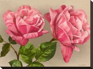 Pink Roses by Found Image Press