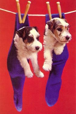 Terrier Puppies in Socks by Found Image Press