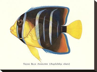Young Blue Angelfish