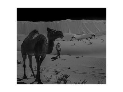 https://imgc.allpostersimages.com/img/posters/four-camels_u-L-Q1CAQ5B0.jpg?artPerspective=n