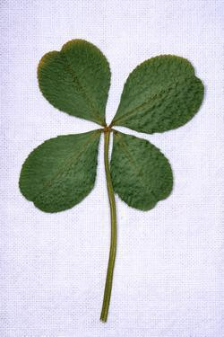 Four-Leaf Clover Considered as Being Lucky