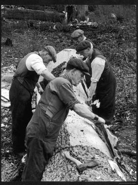 Four Working Class Men in Flat Caps Work as a Team Stripping Bark off a Huge Oak Tree