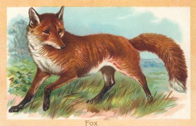 Fox in the Meadow