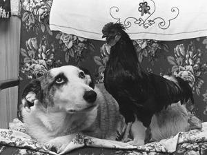 Dog and Cock by Fox Photos
