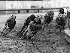 Greyhound Racing by Fox Photos