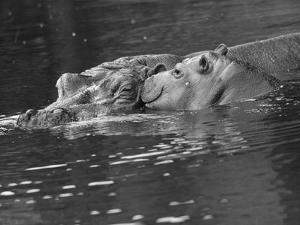 Hippo Swimmers by Fox Photos