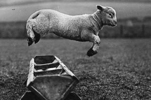 Jumping Lamb by Fox Photos