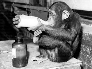 Milky Monkey by Fox Photos