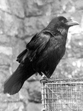 Tower Raven by Fox Photos