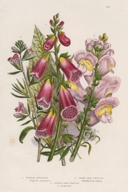 Foxglove (Digitalis Purpure) (Centr), C1885