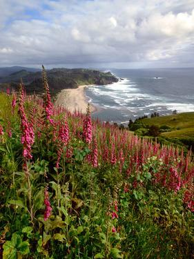 Foxgloves at Cascade Head, The Nature Conservancy, Tillamook County, Oregon, USA