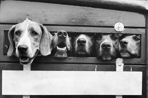 Foxhounds in a Trailer