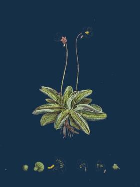 Fragaria Vesca; Wild Strawberry